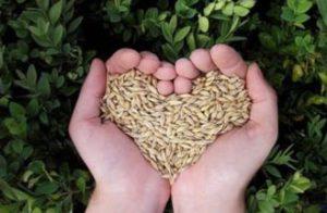 Spelt - an anchient grain