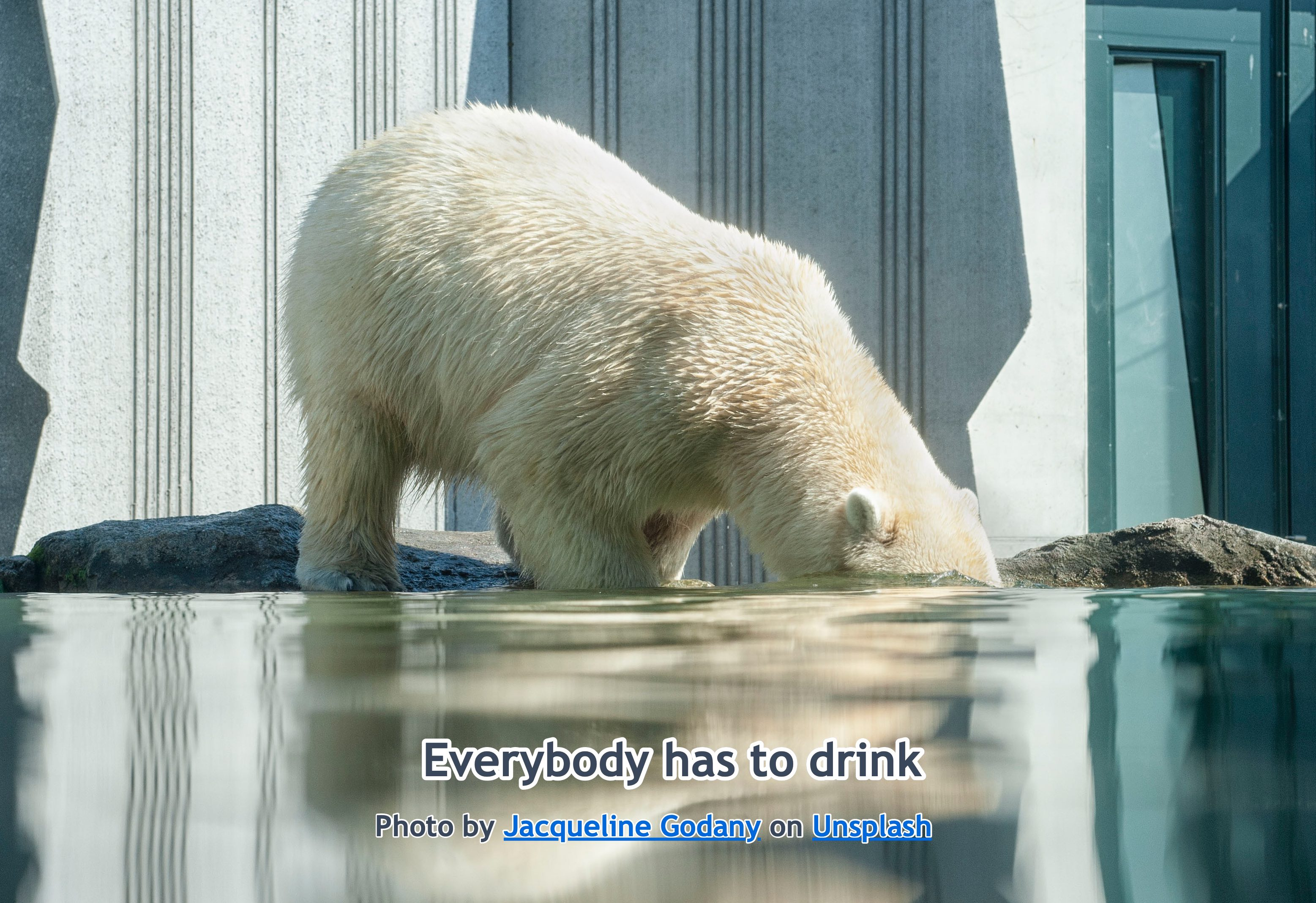 Polar Bear Drinking